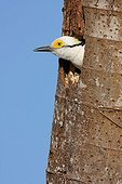 White woodpecker with the head out of its nest Brazil