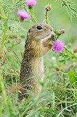 European ground squirrel eating a thistle flower Serbia