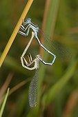 White-legged damselflies mating