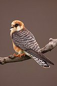 Female Red-footed falcon on a branch