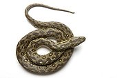 Viperine Snake in studio on white background ; Specimen from Provence