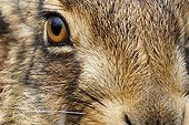 Close-up of the head of a Brown Hare GB