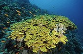 Hard coral formation in Red Sea Egypt