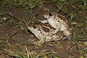Common spadefoot mating