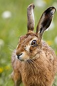 Portrait of a Brown hare in a meadow at spring GB