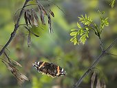 Red Admiral in flight between the branches France