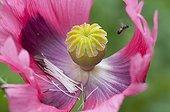 Oriental poppy's faded flower in a garden
