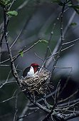 Red-capped Cardinal on nest