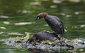Pair of Little grebes mating near water UK