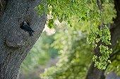 Eurasian Jackdaw on a tree Färnebofjärden NP Sweden