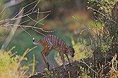 Small Nyala few days playing Kruger NP RSA