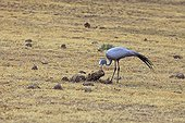Blue crane seeking insects in dung RSA