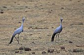 Two Blue crane in the Addo Elephant NP RSA