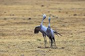 Two Blue crane singing in the Addo Elephant NP RSA
