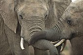Friendly contacts between Elephants Addo Elephant NP RSA