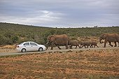 Car and Family Elephants in the Addo Elephant NP RSA