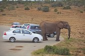 Cars and Elephant in the Addo Elephant NP RSA