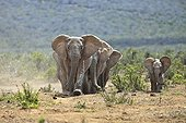 Family of Elephants moving in the Addo Elephant NP RSA ; They move in a compact to protect small