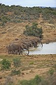 Group of Elephants drinking from a watering place in RSA