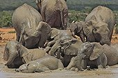 Family of Elephants bathing in the Addo Elephant NP RSA