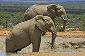 Elephants in a pool of mud in the Addo Elephant NP RSA