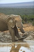 Elephant in a pool of mud in the Addo Elephant NP RSA