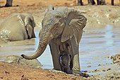 Elephant and her calf out of a mud bath RSA