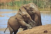 Elephant Calf and his mother out of a mud bath RSA