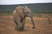 Young Elephant moving in the Addo Elephant NP RSA