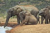 Young sitting near Elephant drinking at waterhole in RSA