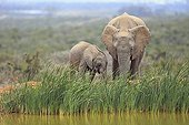 Elephant Calf and his mother near a pond PN Addo Elephant RSA