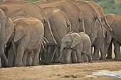 Baby elephant walking behind a group of adults RSA ; Adults are drinking at a waterhole