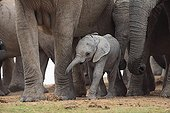 Baby elephant near its mother in a group of adults RSA