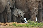 Baby elephant under its mother in a group of adults RSA