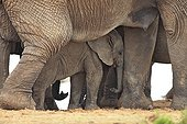 Baby elephant sleeping under his mother in the middle of a group RSA