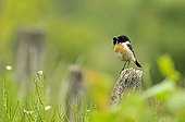 Common Stonechat male with a cricket in its beak France