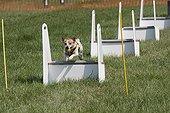 Manifestation canine d'agility à Gotherington en Angleterre