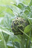 Artichoke in a vegetable garden of the Sarthe France