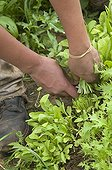 Picking Mesclun and Roquette France