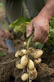 Harvesting Potatoes Belles de Fontenay France