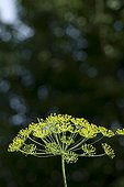 Dill flowering in summer Ain France