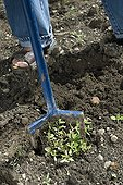 Weeding with a rotary claw in Ain France