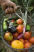 Harvest vegetables in the garden in summer France