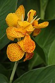 Canna flower in a botanical garden in the Var France