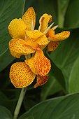 Fleur de Canna dans un jardin botanique dans le Var