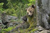 European brown bear sleeping on tree Bavarian Forest NP
