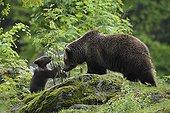 European brown bears female and cub Bavarian Forest NP