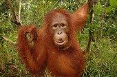 Southern Bornean Orangutan eating termites Borneo