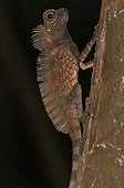 Giant forest Dragon hiding immobile on tree trunk Sumatra
