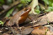 Javan horned frog standing on dead leaves Halimun NP Java